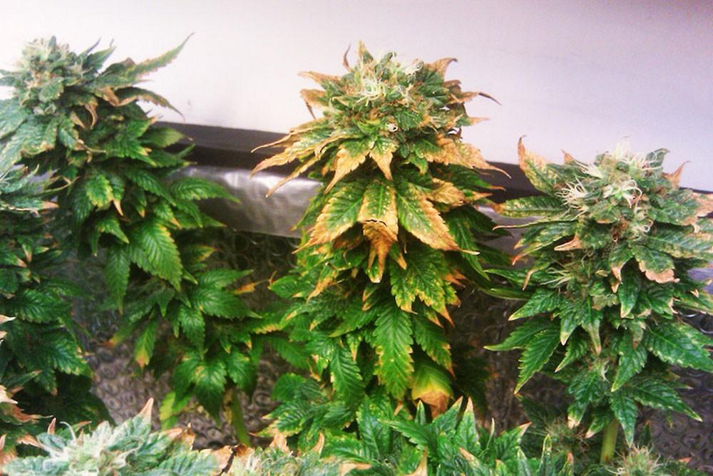 Начинаем выращивать марихуану конопля иваново
